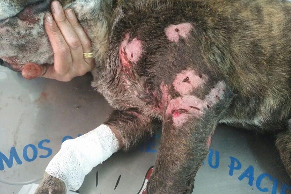 Perro gravemente herido abandonado (tras pelea de perros)