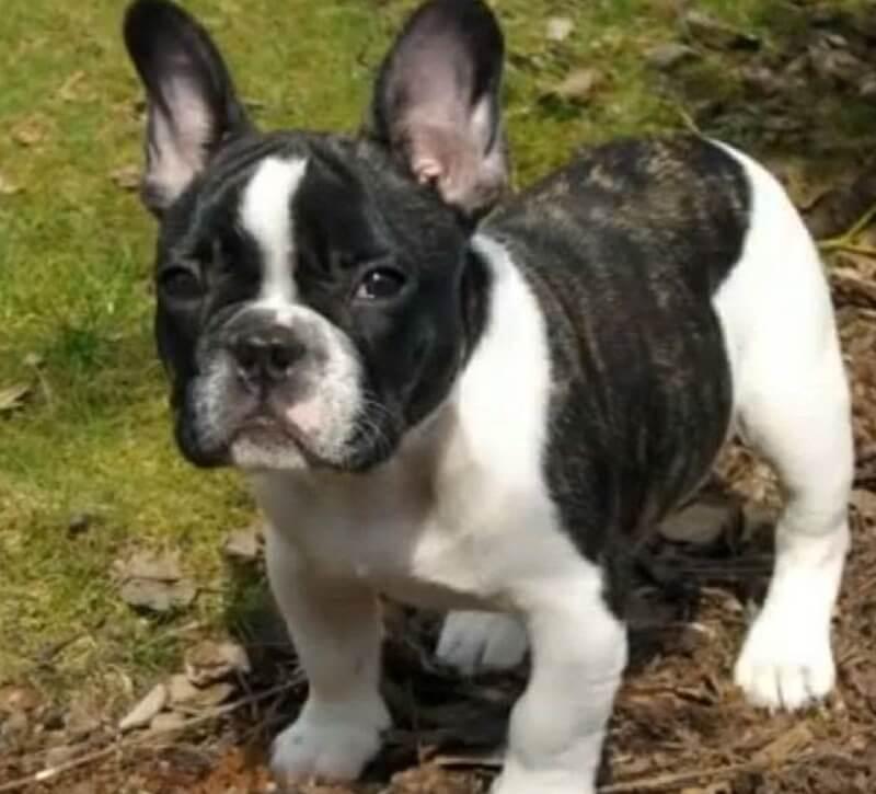 ae3a87d0a3eb0 ¿Cómo debe ser el dueño y el entorno de un perro Bulldog Frances