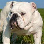 Bulldog o Bulldog Inglés