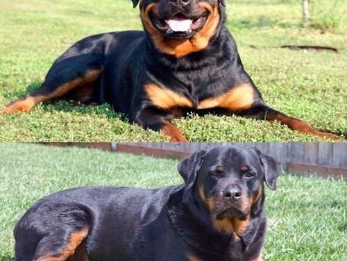Rottweiler alemán vs Rottweiler americano