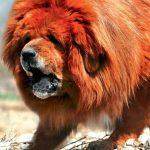 Mastín Tibetano o Dogo del Tíbet