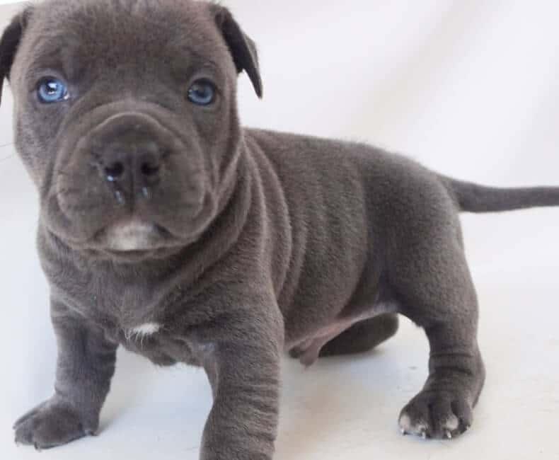 Todo Sobre El American Pitbull Terrier Perroshop