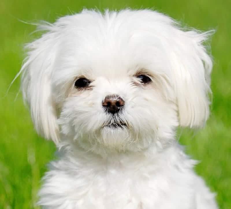 Fotos del perro bichon maltes 65