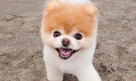 Boo. Uno de los perros más guapos del mundo