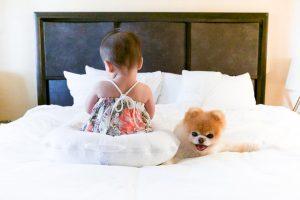 Boo perro pomerania bello