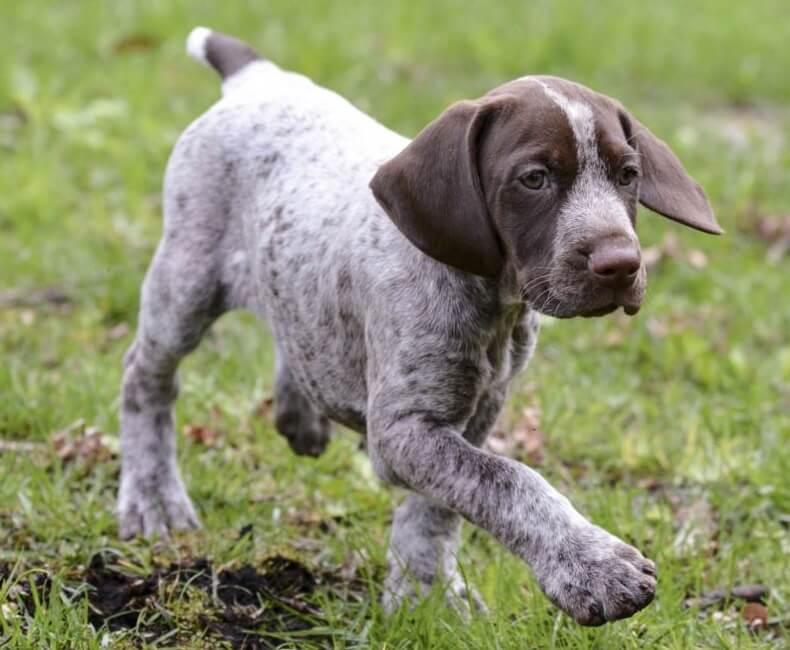 Todo Sobre El Braco Alemán De Pelo Corto Perroshop