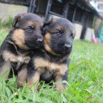 Todo lo que debes saber del Cachorro de Pastor Alemán