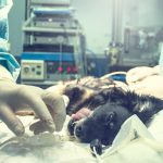 Cirujia para esterilizar a tu perro. Lo que debes saber…
