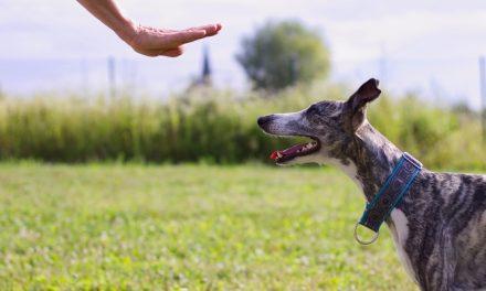 Cómo enseñar a su perro a quedarse quieto (STAY) – Guía paso a paso