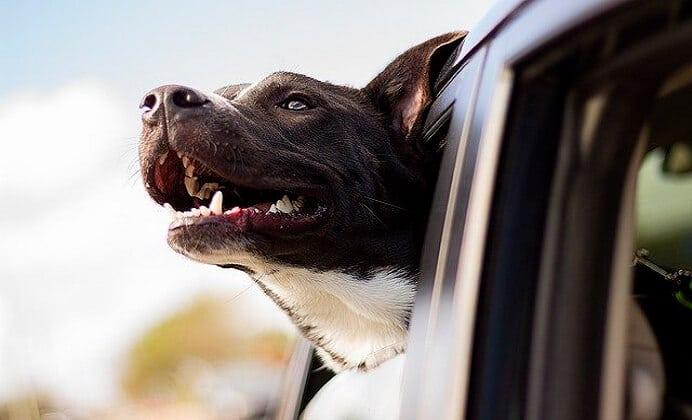 ¿Cómo Elegir al Perro Ideal?