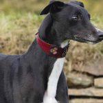Greyhound, Lebrel o Galgo Inglés