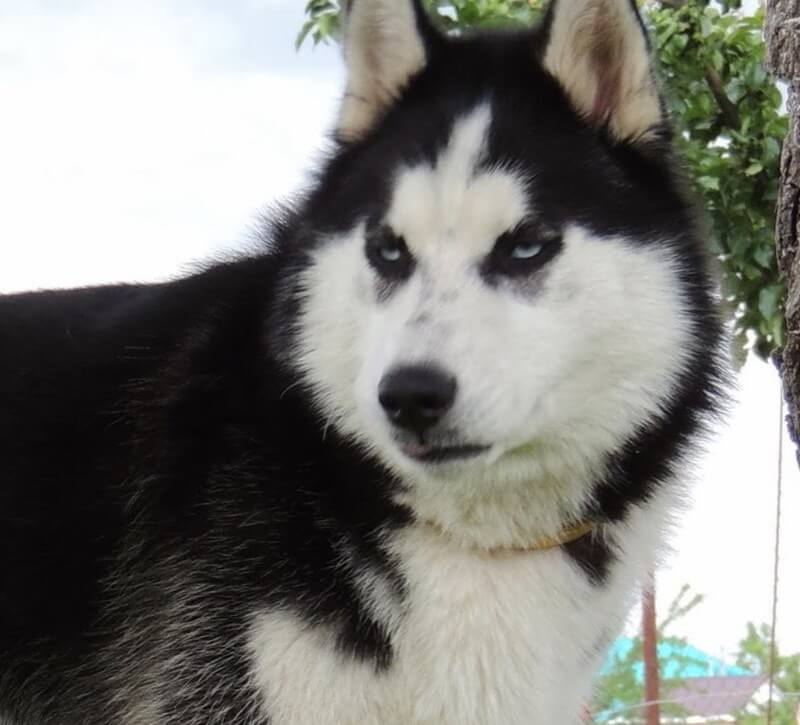 Todo sobre el Husky Siberiano * PERRO SHOP