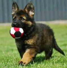 el cachorro de un pastor alemán