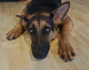 perro asustado por ruidos de petardos y disparos