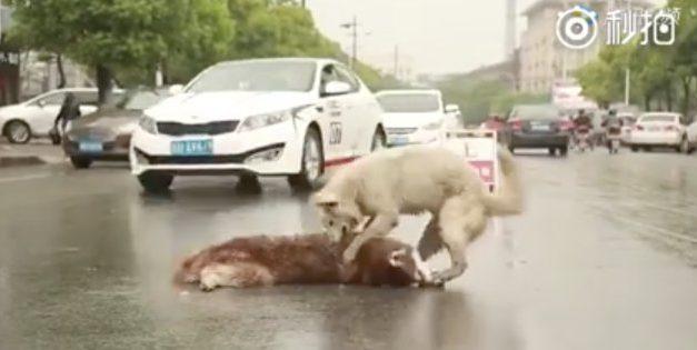 [VIDEO] Perro auxilia a otro perro atropellado