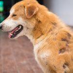 ¿Qué es la Sarna en Perros? ¿Sabes Curarla?