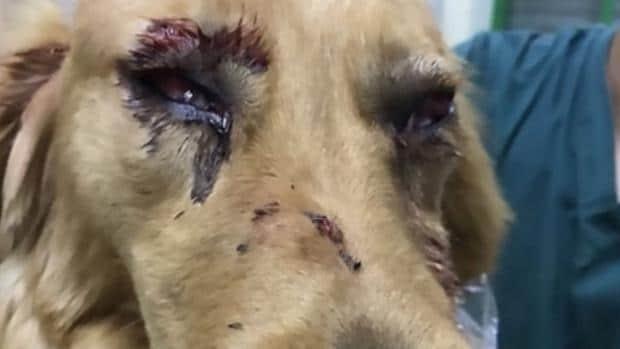 Perro herido en un viaje de avión