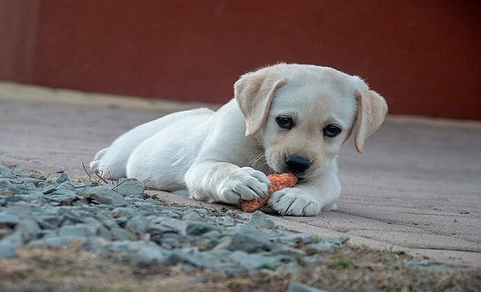 ¿Puedo hacer que mi perro sea vegano o vegetariano?