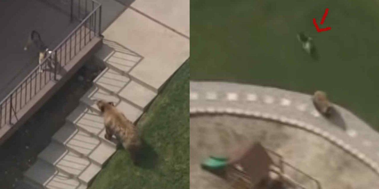 [VIDEO] Perro auyenta a un oso en su jardín
