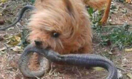 Perro sacrifica su vida para proteger a su dueña de una serpiente