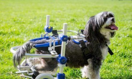 Perro paralítico vuelve a andar (y no es un milagro)