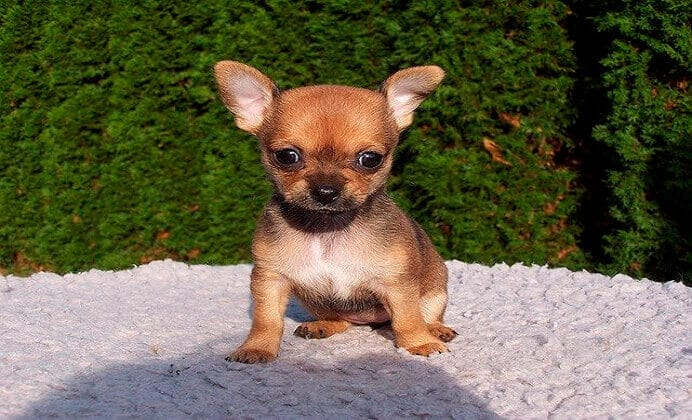 Las razas de perros que parecerán eternos cachorros