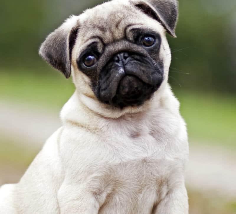 Fotos de perros pug carlino 54