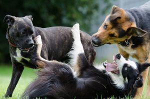 perros grandes y gigantes